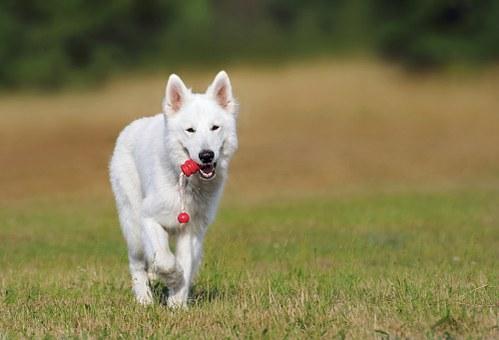 swiss-shepherd-dog-354526__340