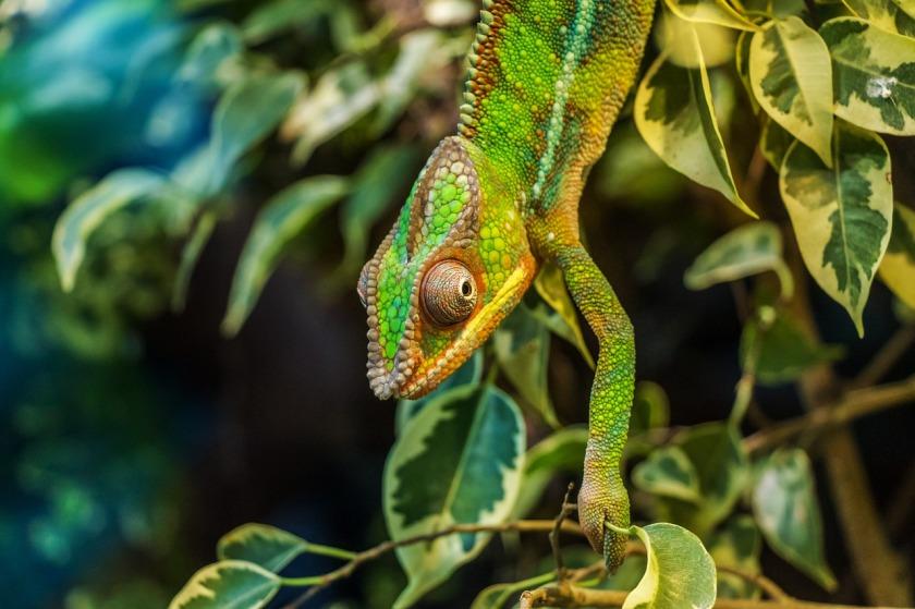 chameleon-384964_1280.jpg