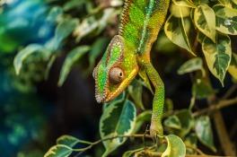 chameleon-384964_1280